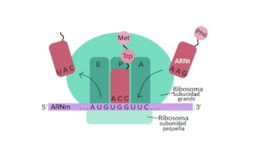 Ejercicio de bucles y condicionales sobre el ARN